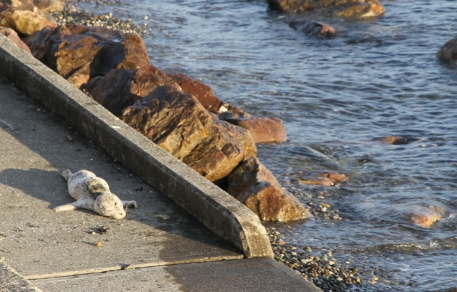 A baby harbor seal rests on the sidewalk near the shore.
